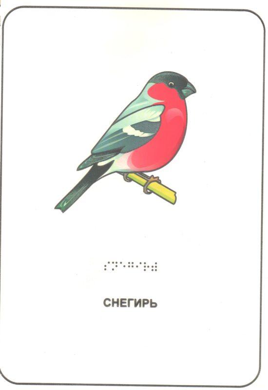 """Иллюстрация к книге """"Птицы наших лесов"""". Снегирь."""