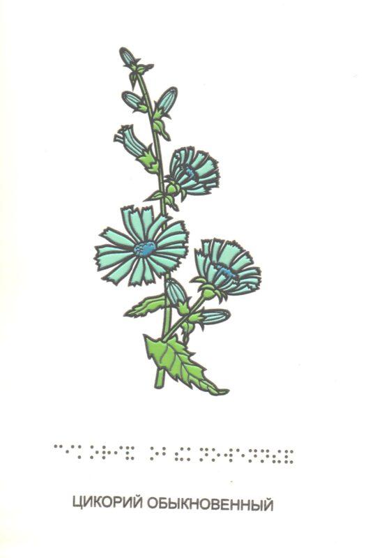 """Иллюстрация к книге """"Растения вокруг нас"""". Цикорий обыкновенный"""